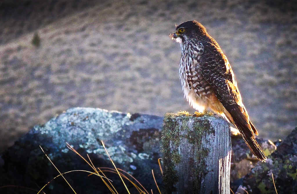 The New Zealand falcon/kārearea on Benmore Peak near Twizel...