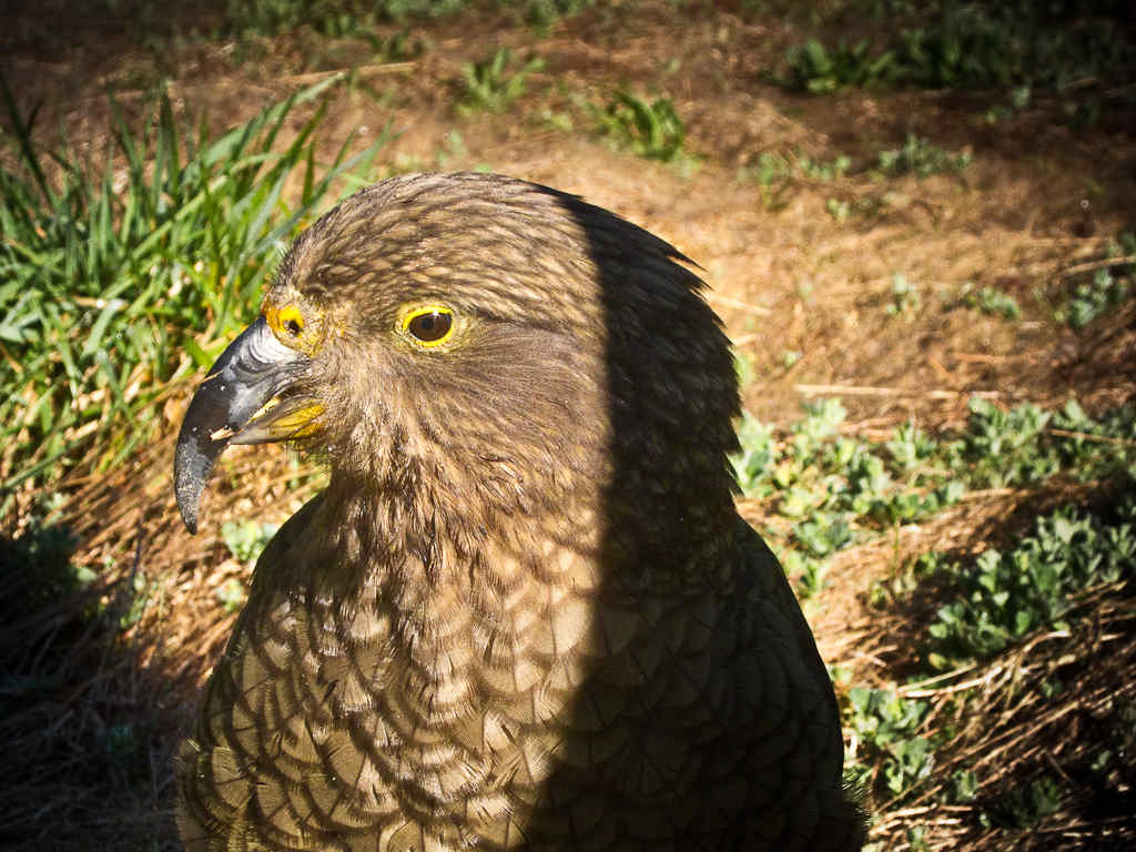 Kea Portrait 2 by Donald Lousley.