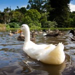 A White Goose in a pond (Wildlife Gallery)
