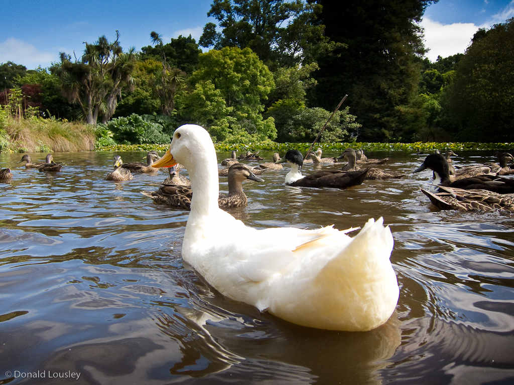 A White Goose in a pond by Donald Lousley.